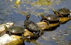 turtles-50059_1280